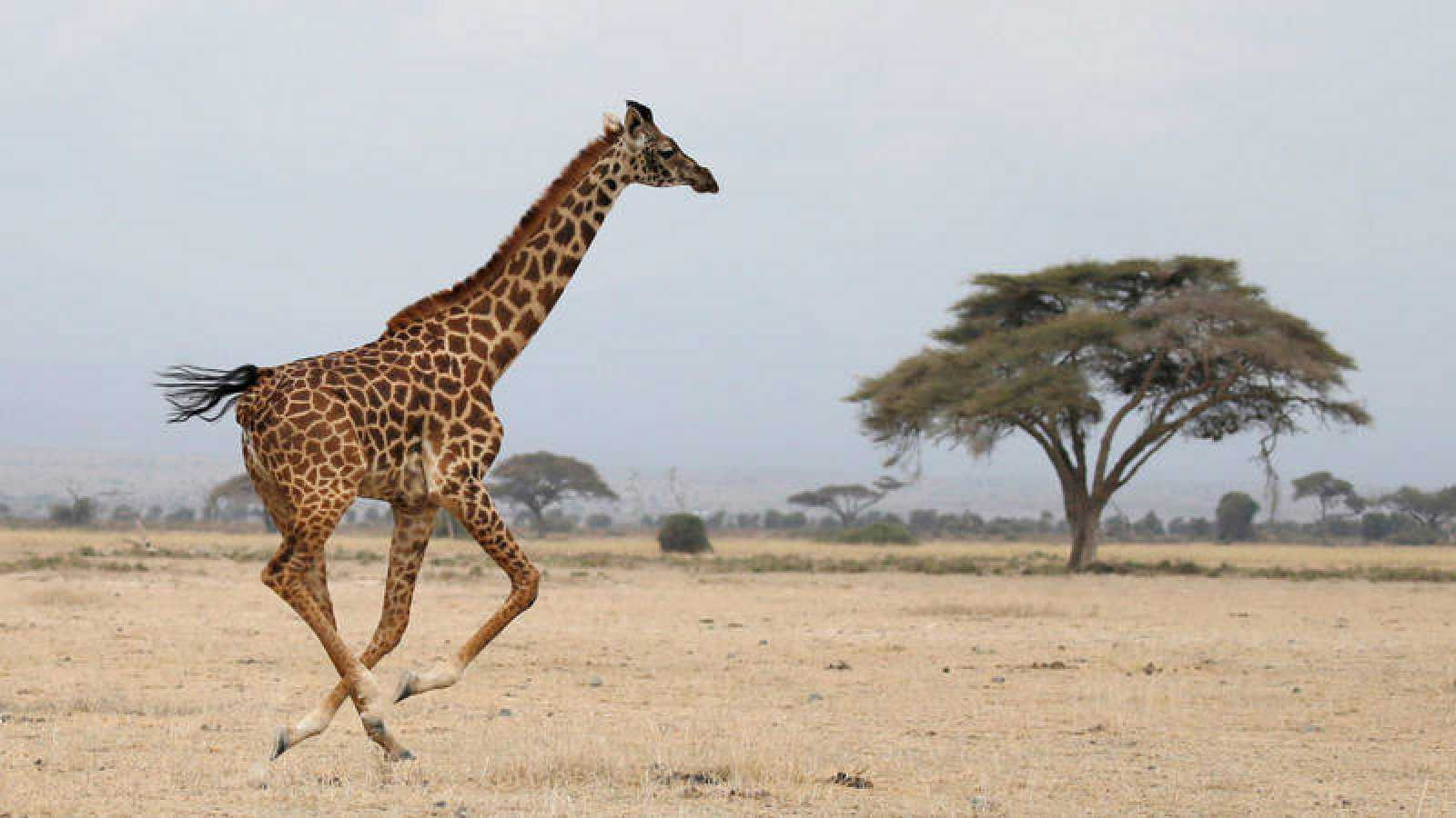 Una jirafa fotografiada en el Parque Nacional Amboseli, Kenia