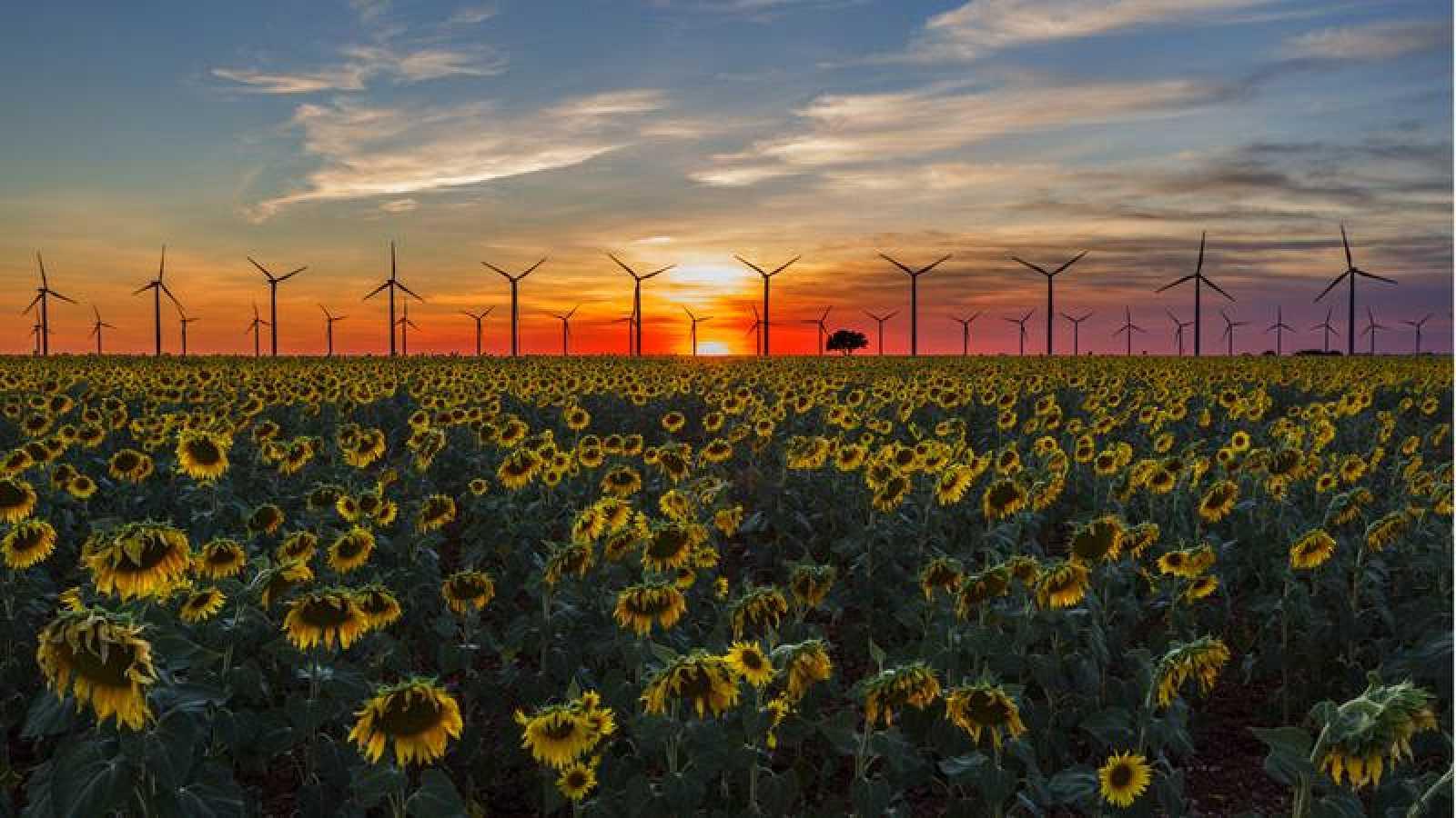 Girasoles y molinos de viento durante una puesta de sol.