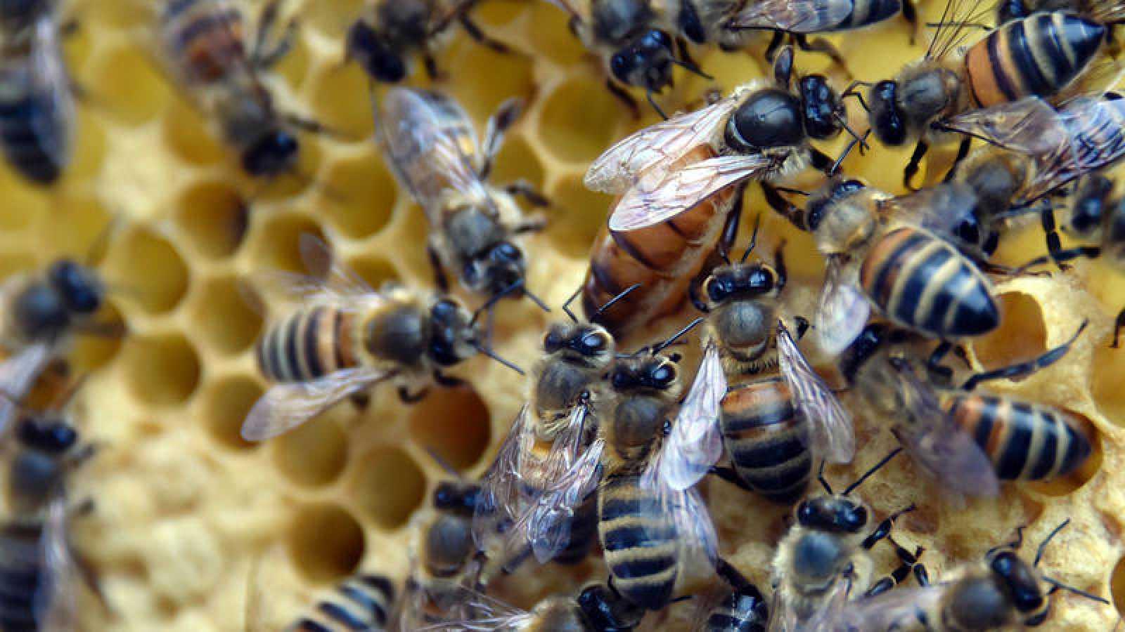 """Greenpeace estima que """"tres cuartas partes de los cultivos del mercado global dependen de las abejas en cierta medida""""."""