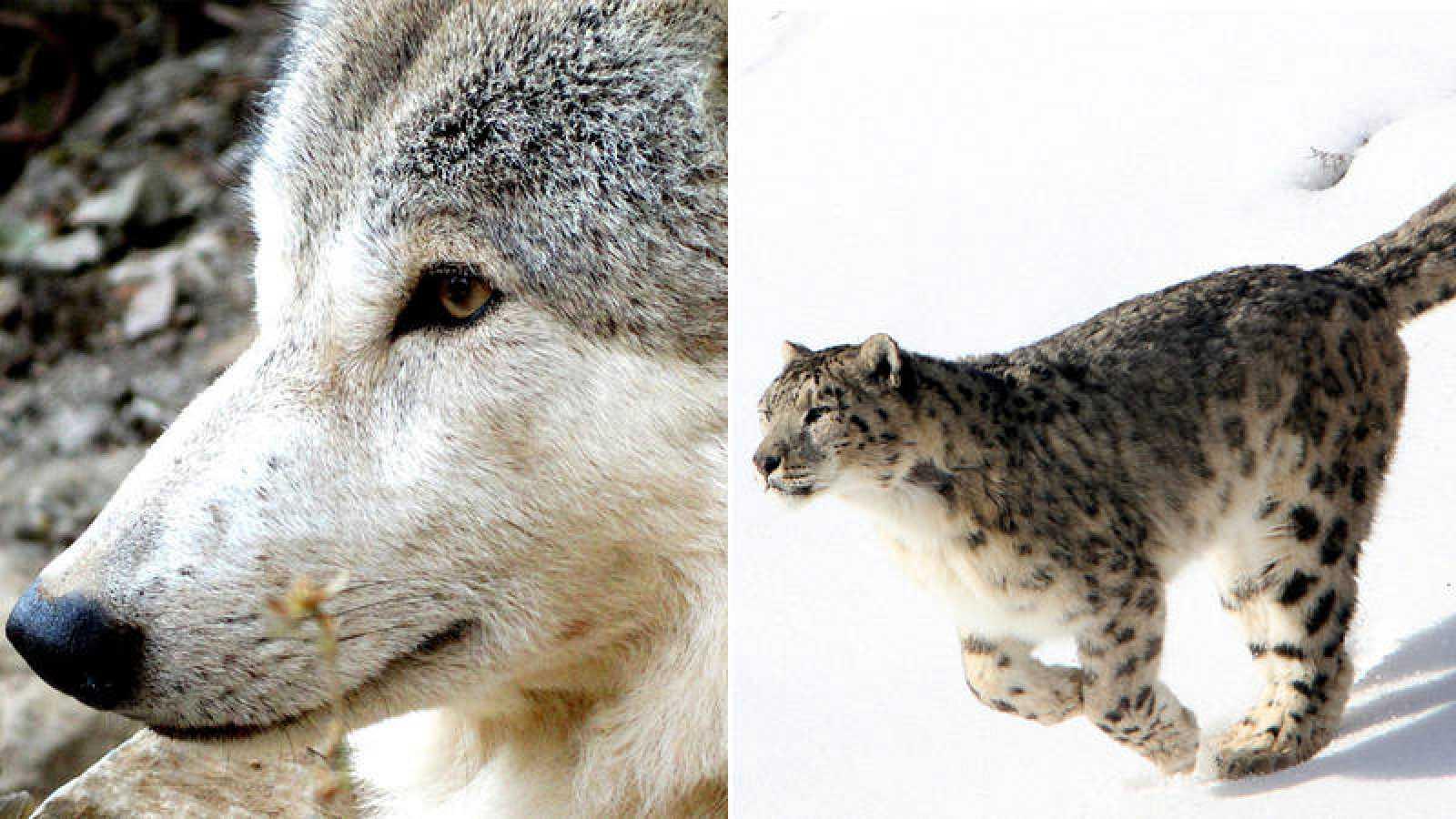 Imagen de un lobo del Himalaya, a la izquierda, y de un leopardo de las nieves, a la derecha.