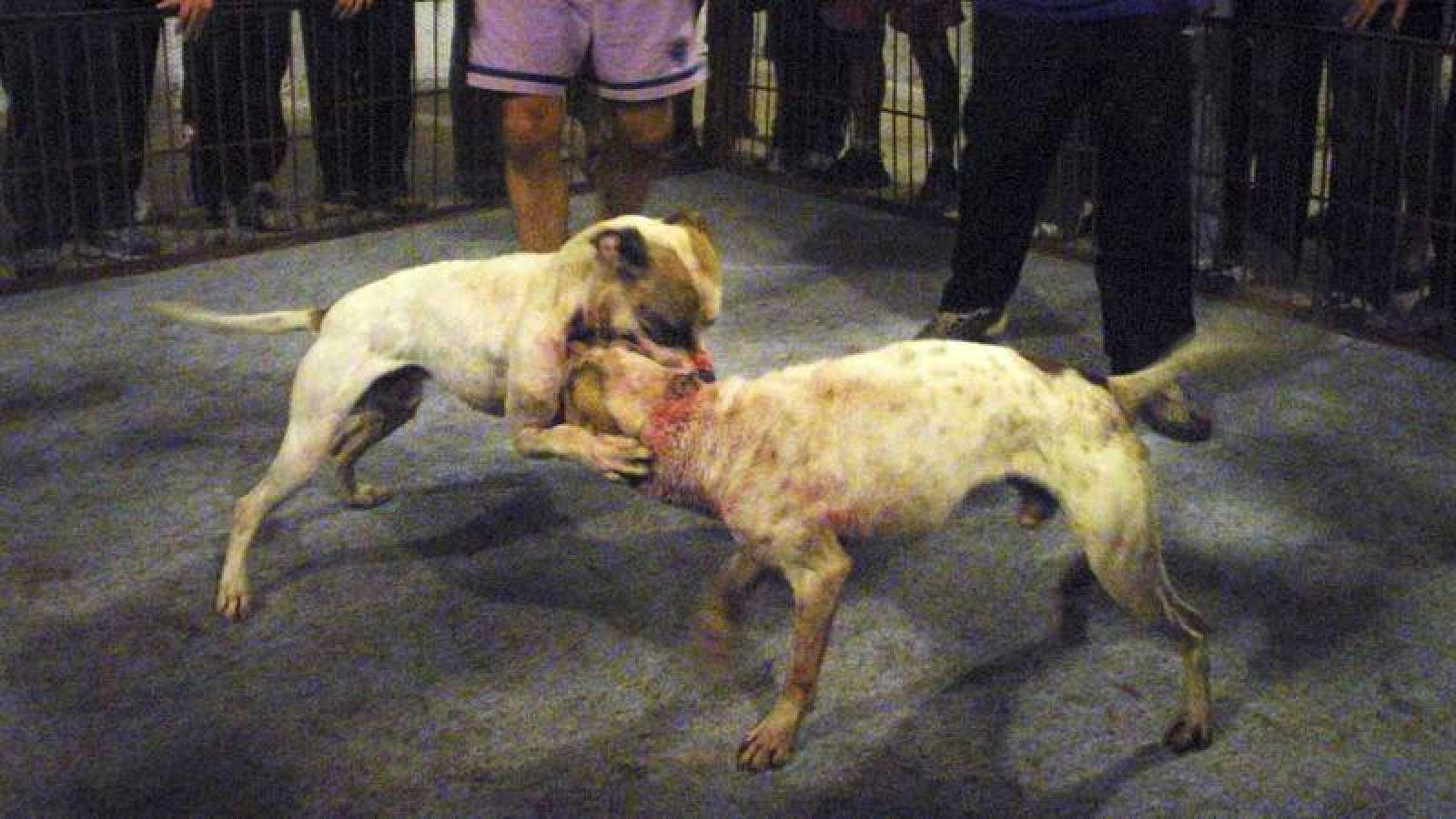 Imagen de archivo de una pelea entre dos perros de la raza 'pit bull terrier'.