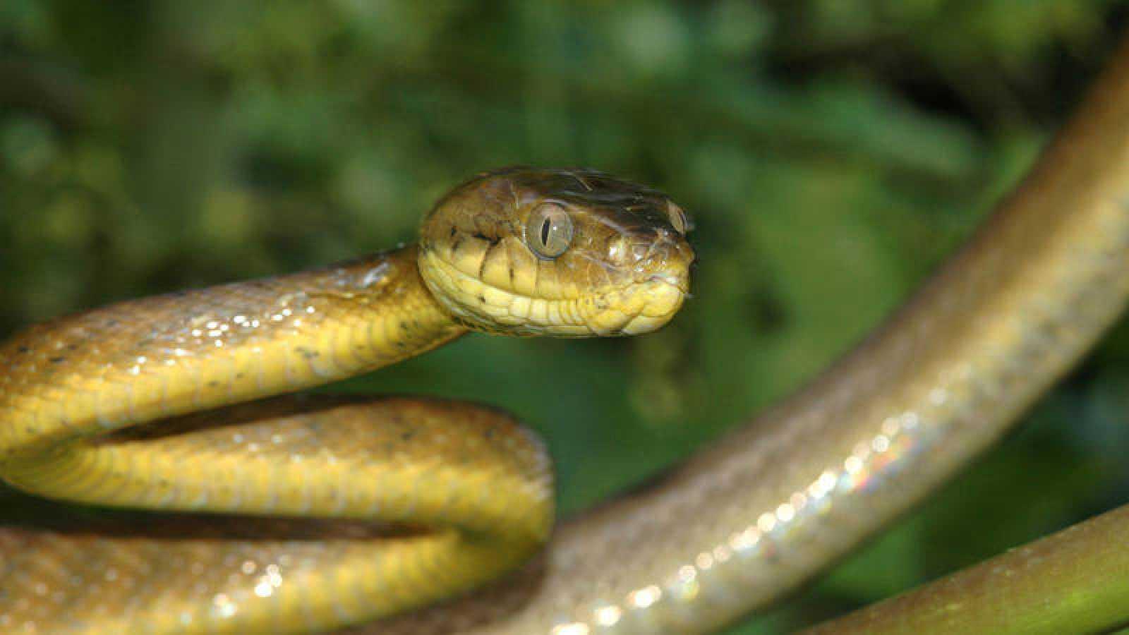 Una serpiente invasora está acabando con los bosques de una isla del ...
