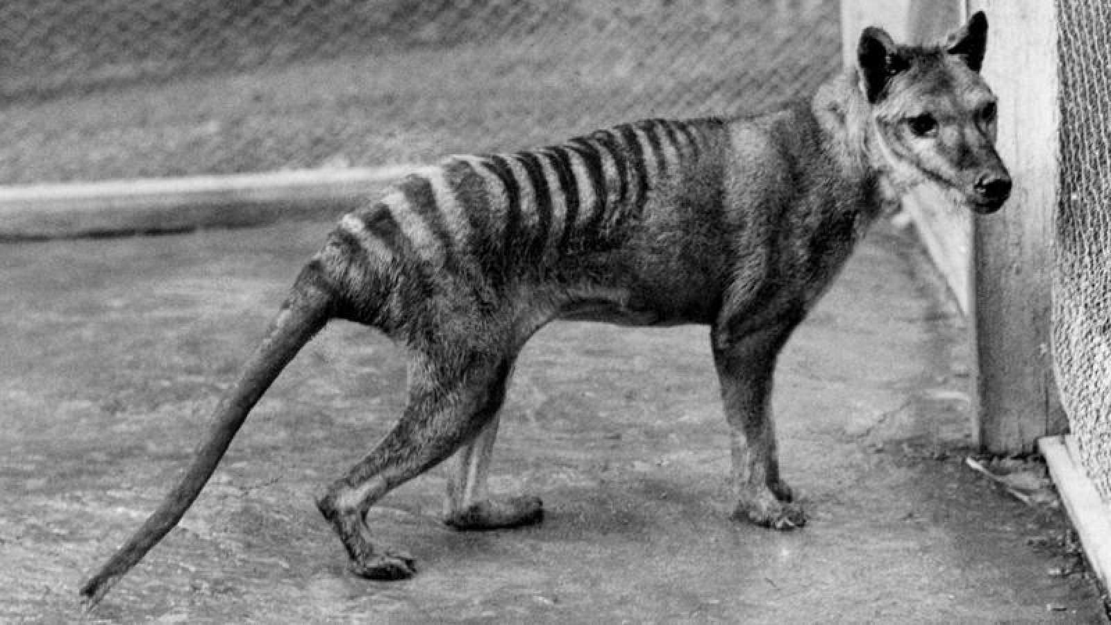Se cree que el último de los marsupiales carnívoros Thylacinus cynocephalus murió en 1936.