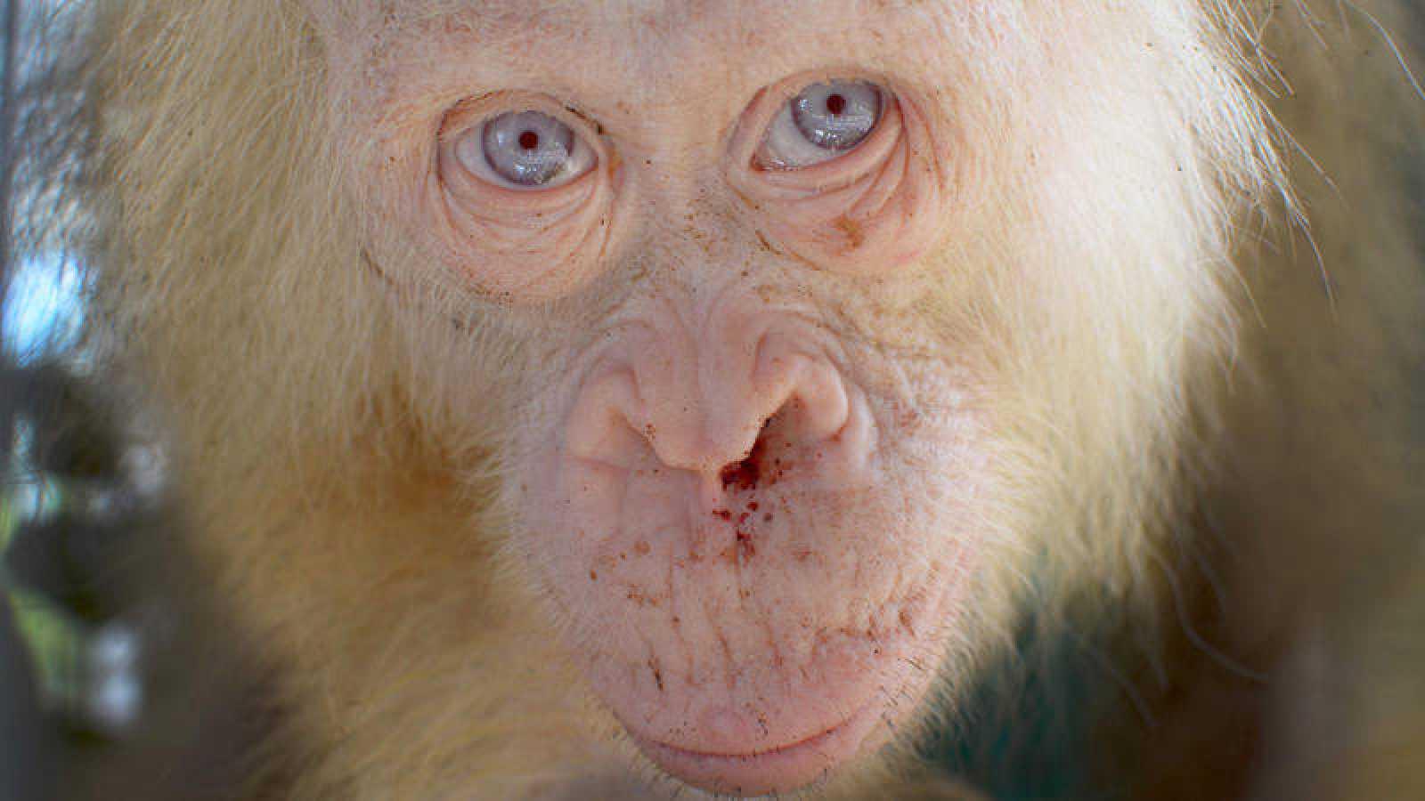 El ejemplar tiene unos cinco años, y sus ojos, pelo y piel son pálidos, además de presentar fotosensibilidad.
