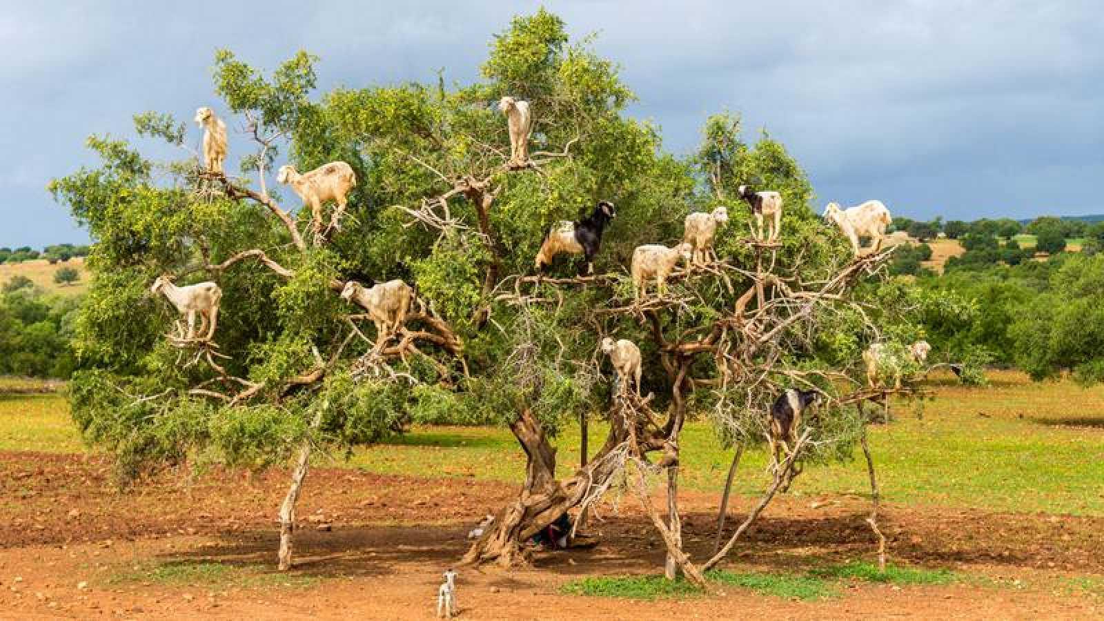 Cabras encaramadas a un bloque de argán en Marruecos.