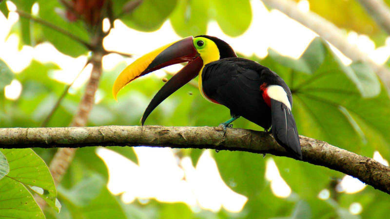 Un tucán de Costa Rica