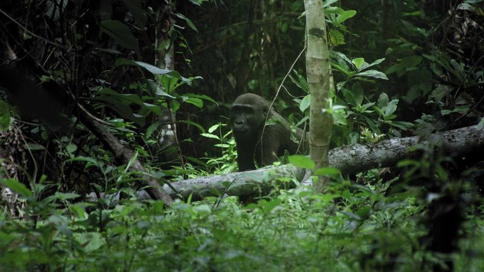 'Planeta Selva' Recorre La Jungla Tropical Africana, La