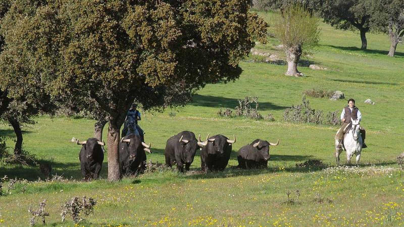 Toros de lidia de la ganadería de Puerto de San Lorenzo