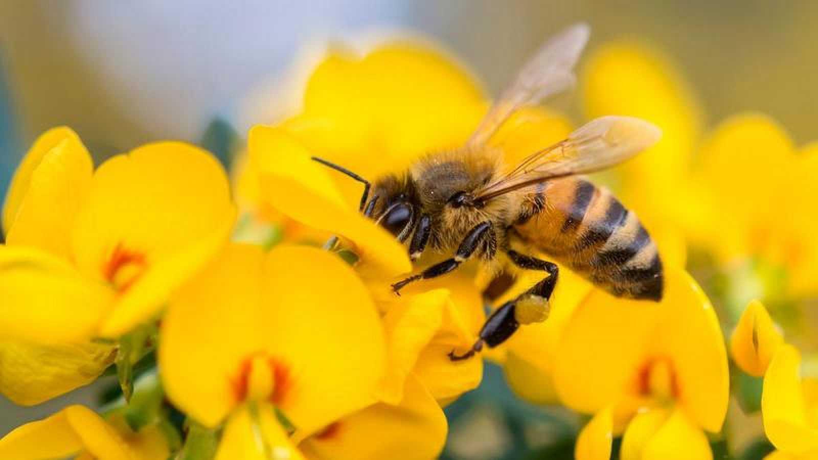 Las abejas se enfrentan a fuertes amenazas como el cambio climático o los productos químicos.