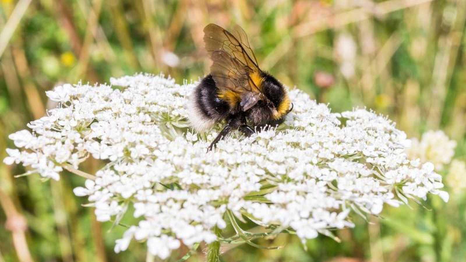 El insecticida tiametoxam reduce las posibilidades en un 26% de que las reinas de abejorros comiencen una nueva colonia.