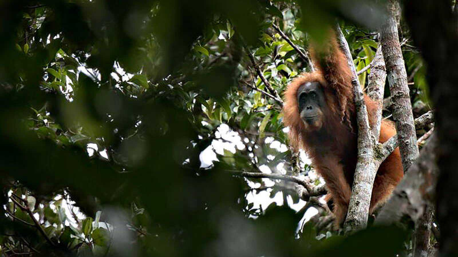 Un orangután de Tapanuli, la nueva especie descubierta en la isla de Sumatra