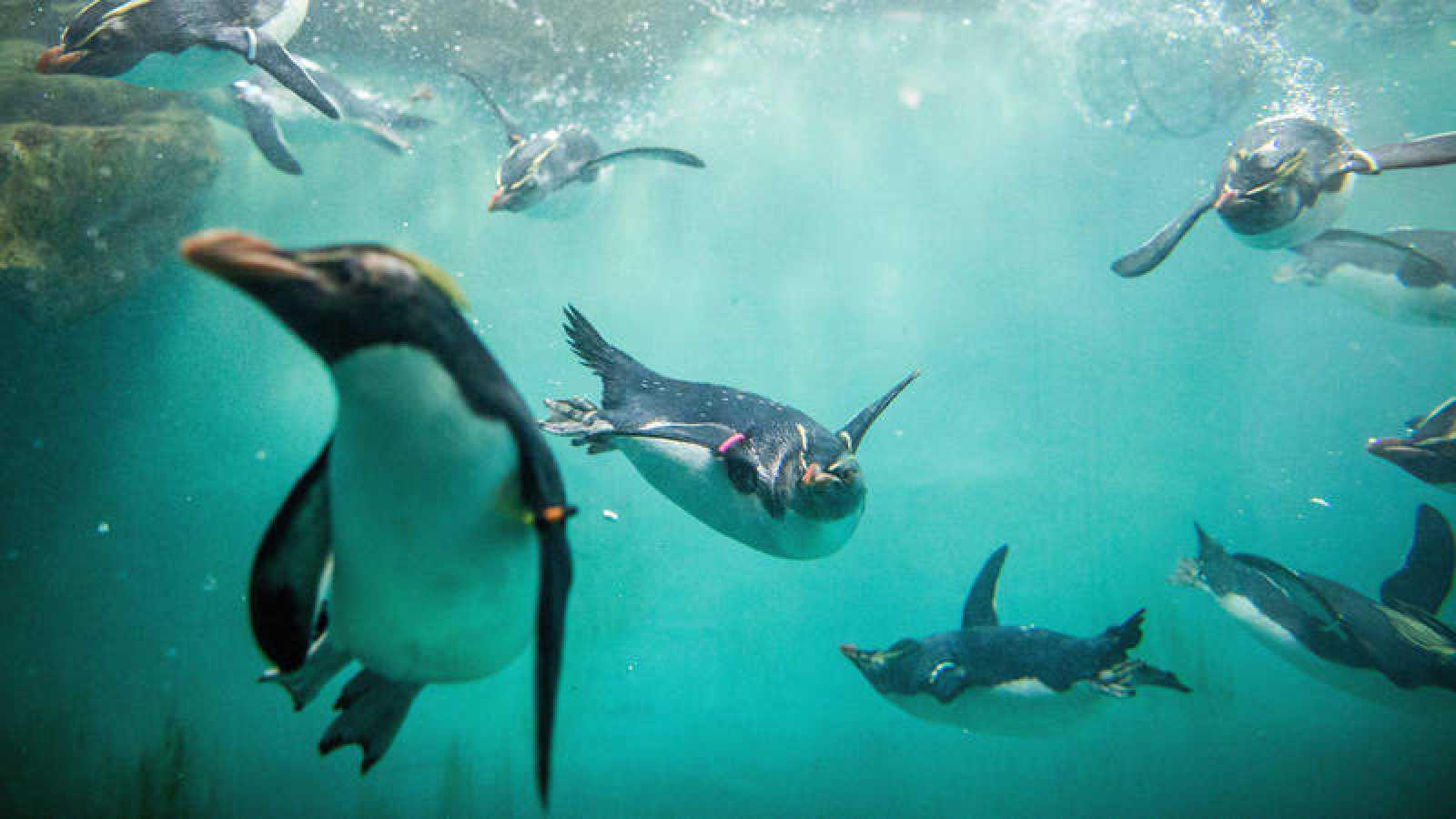 Varios ejemplares de pingüino de penacho amarillo, sumergiéndose en el agua.
