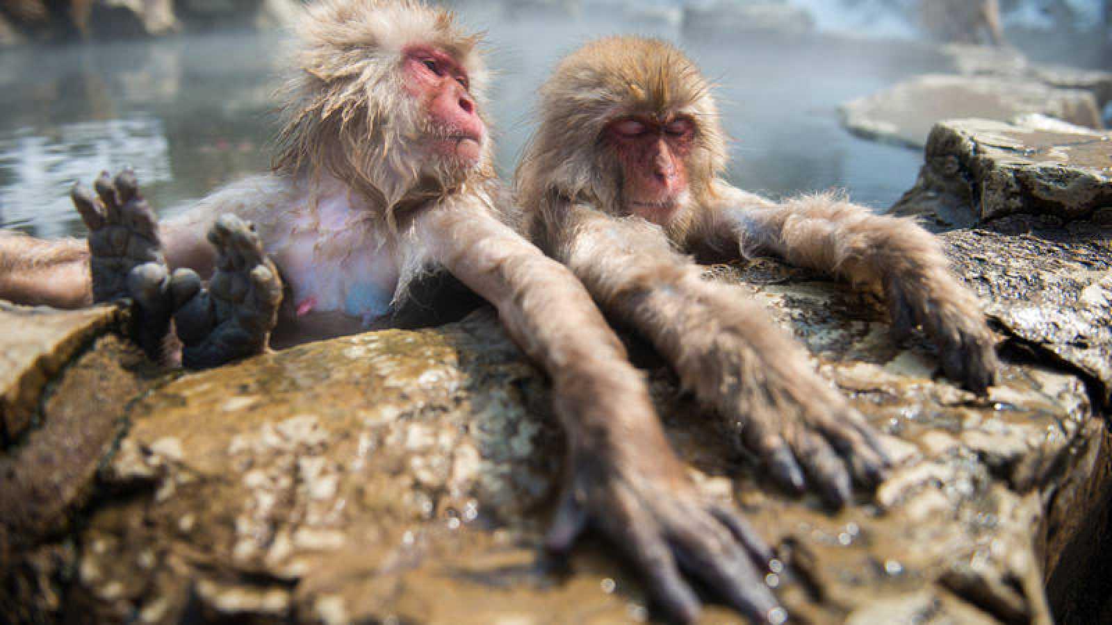 Los Populares Monos De Nieve Japoneses Utilizan Las Aguas Termales
