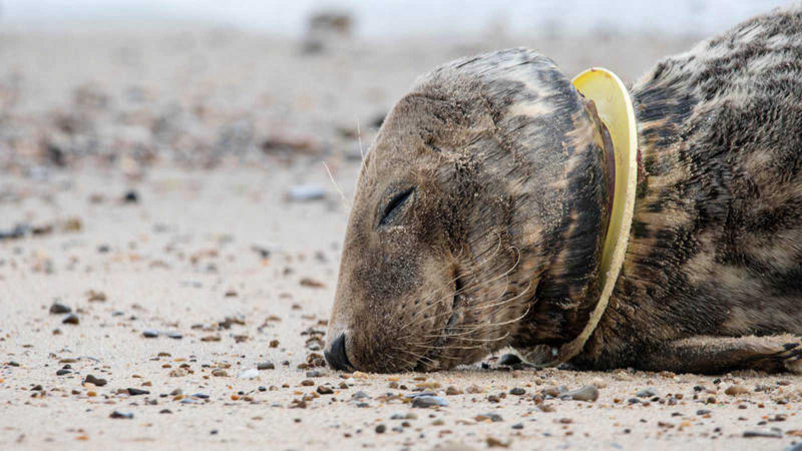 Una foca herida con un 'frisbee' en el cuello