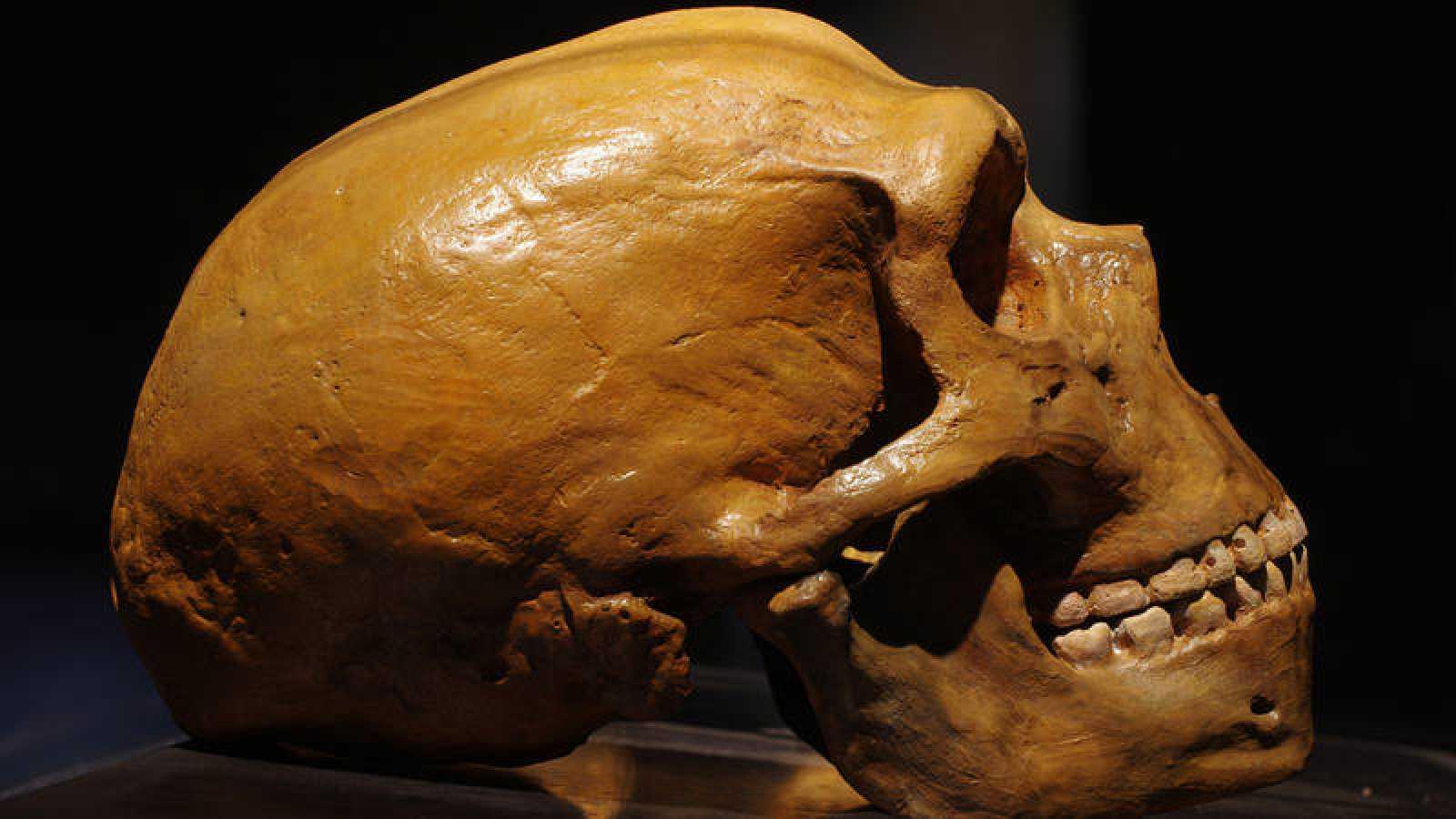 Imagen de una calavera neandertal, en la que se puede apreciar su mayor capacidad craneal.