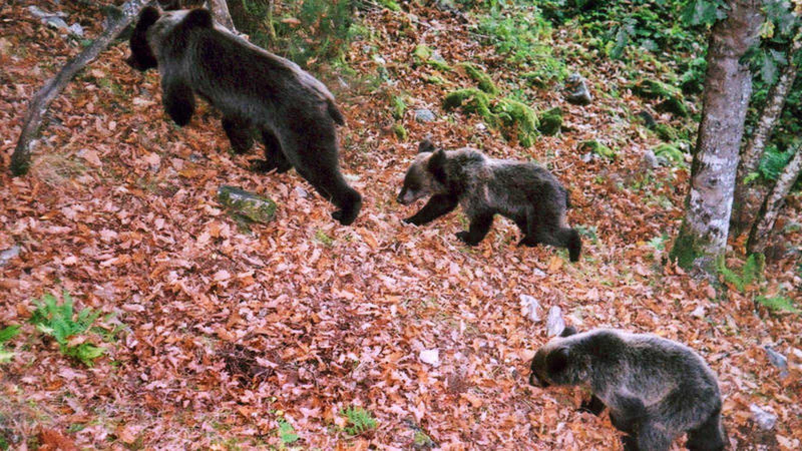 El oso pardo es una de las ¿especies paraguas¿ que han conseguido salir de una situación crítica gracias a la protección de su territorio.