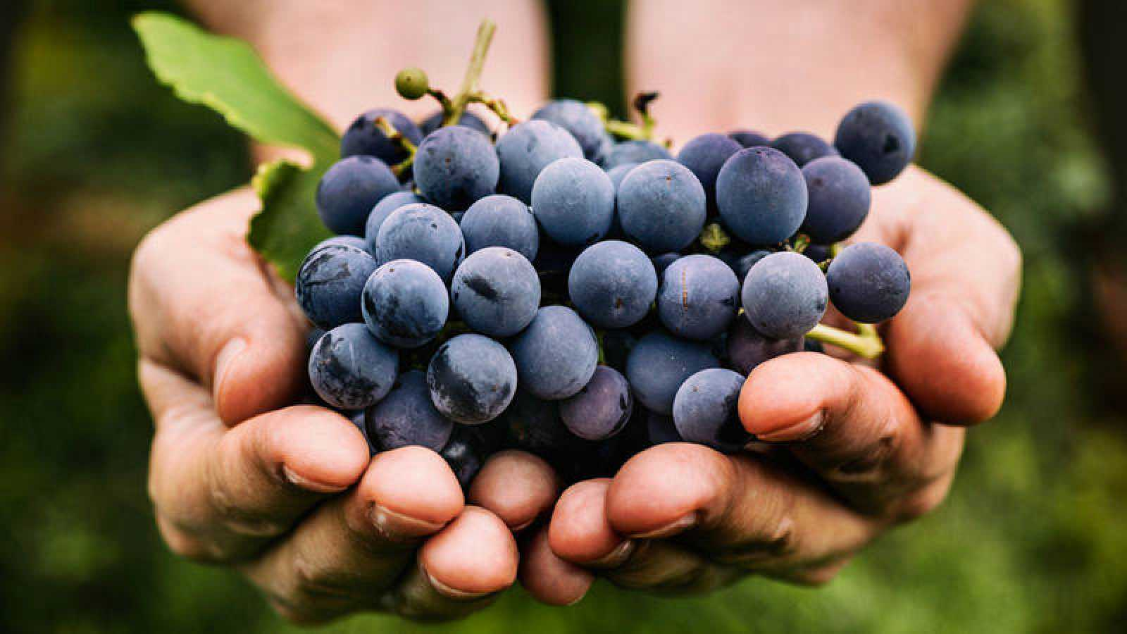 Resultado de imagen para uvas