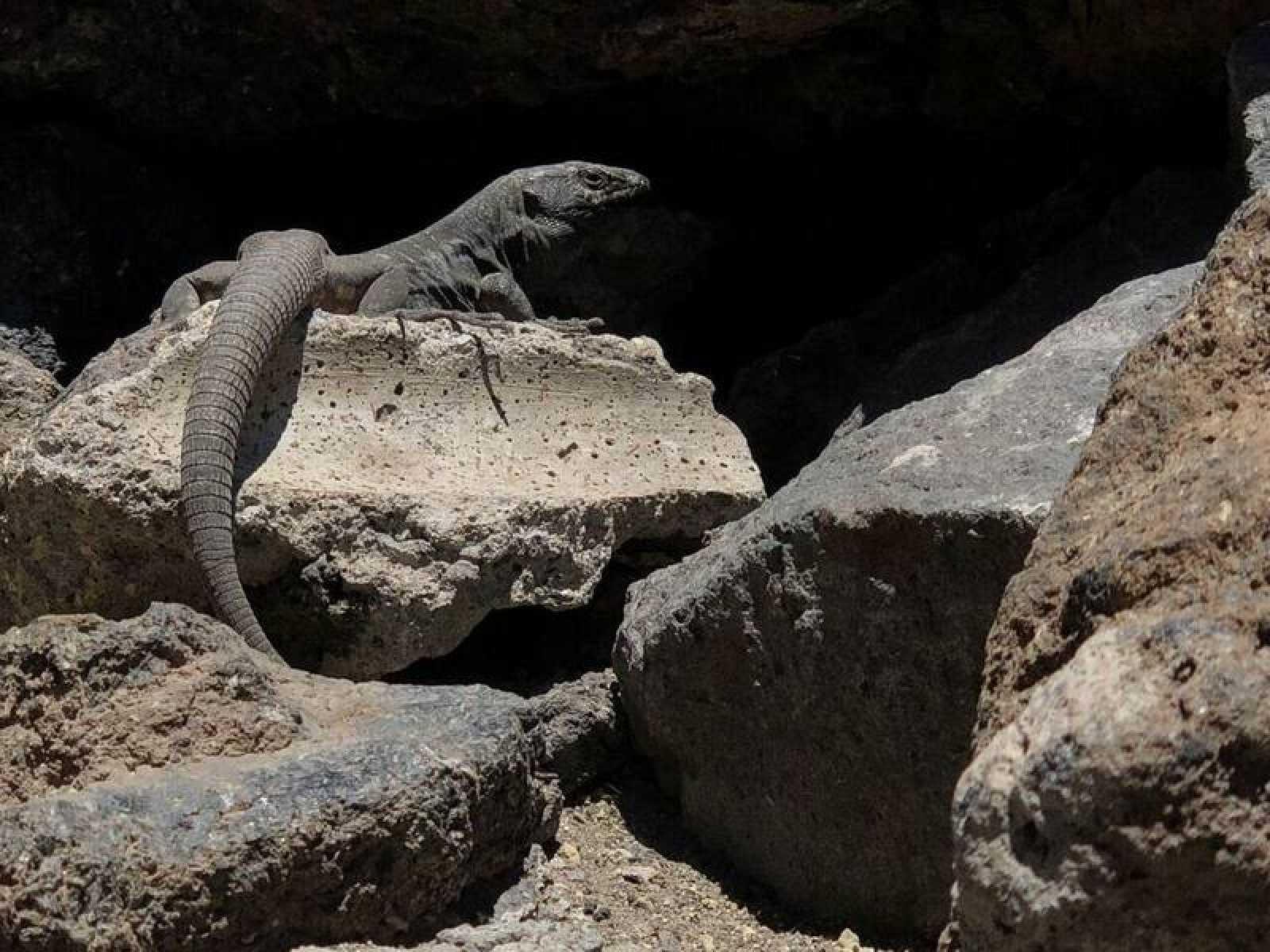El lagarto tizón debió llegar hasta las islas Canarias flotando sobre algún resto vegetal que el mar arrastró hasta la costa