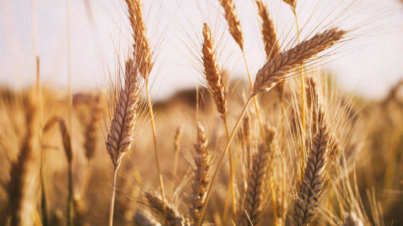 descifran el genoma del trigo rtve es