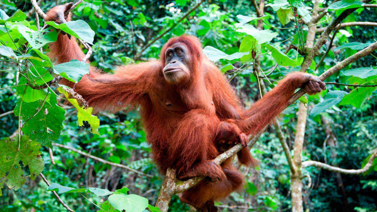 Las tres especies existentes de orangután se encuentran en estado de peligro crítico y presentan un fuerte declive.