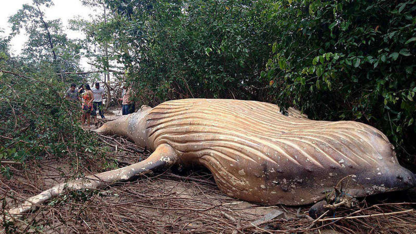 Una ballena jorobada fue hallada muerta en un manglar en el archipiélago de Marajó, en plena Amazonía del Brasil