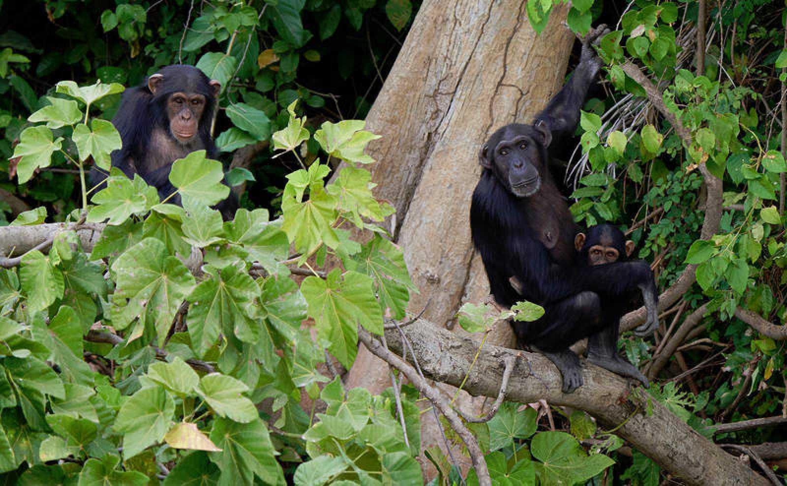 El chimpancé es el pariente vivo más cercano al ser humano.