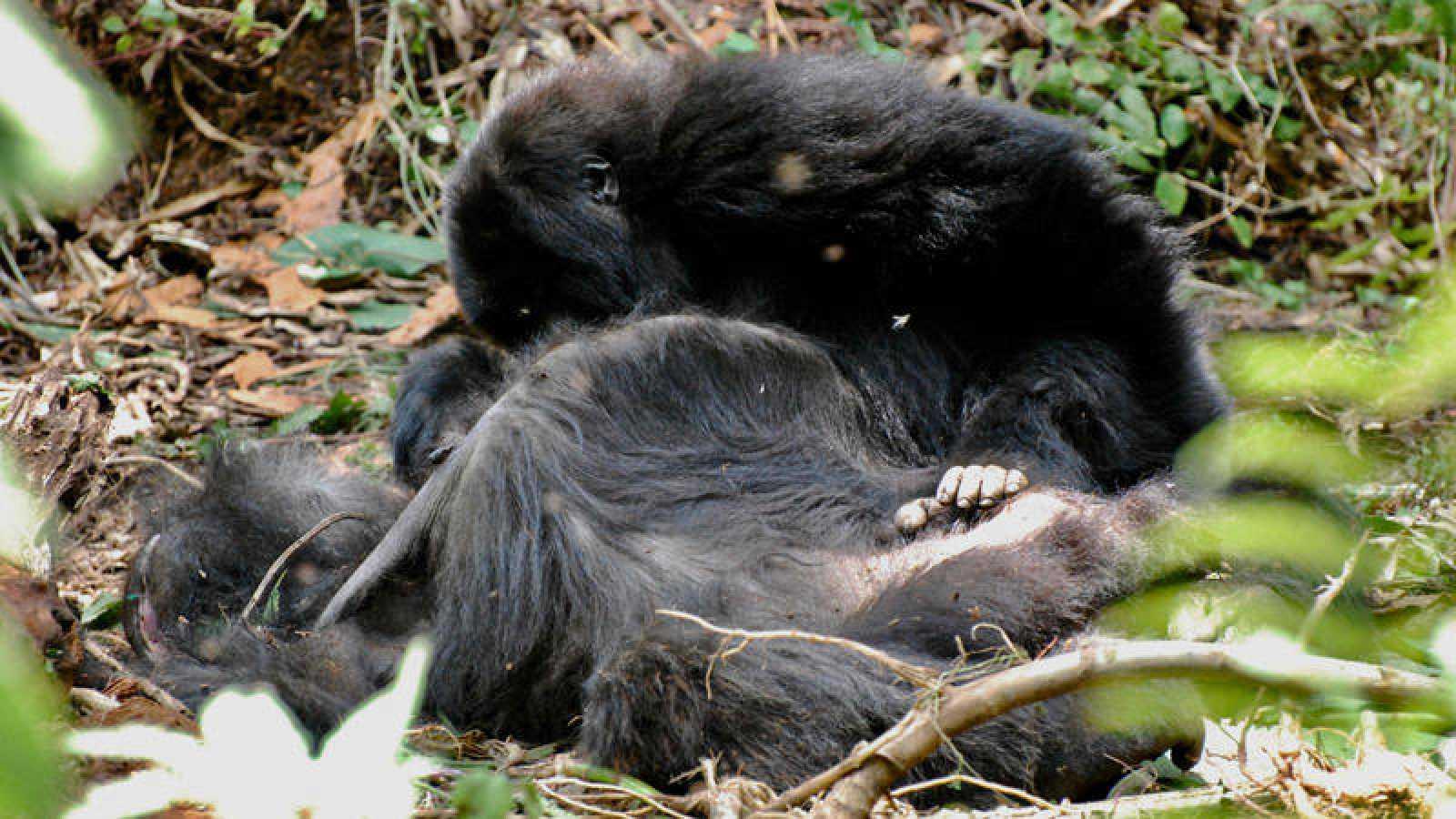 Un gorila permanece sentado cerca de otro fallecido, en señal de duelo.