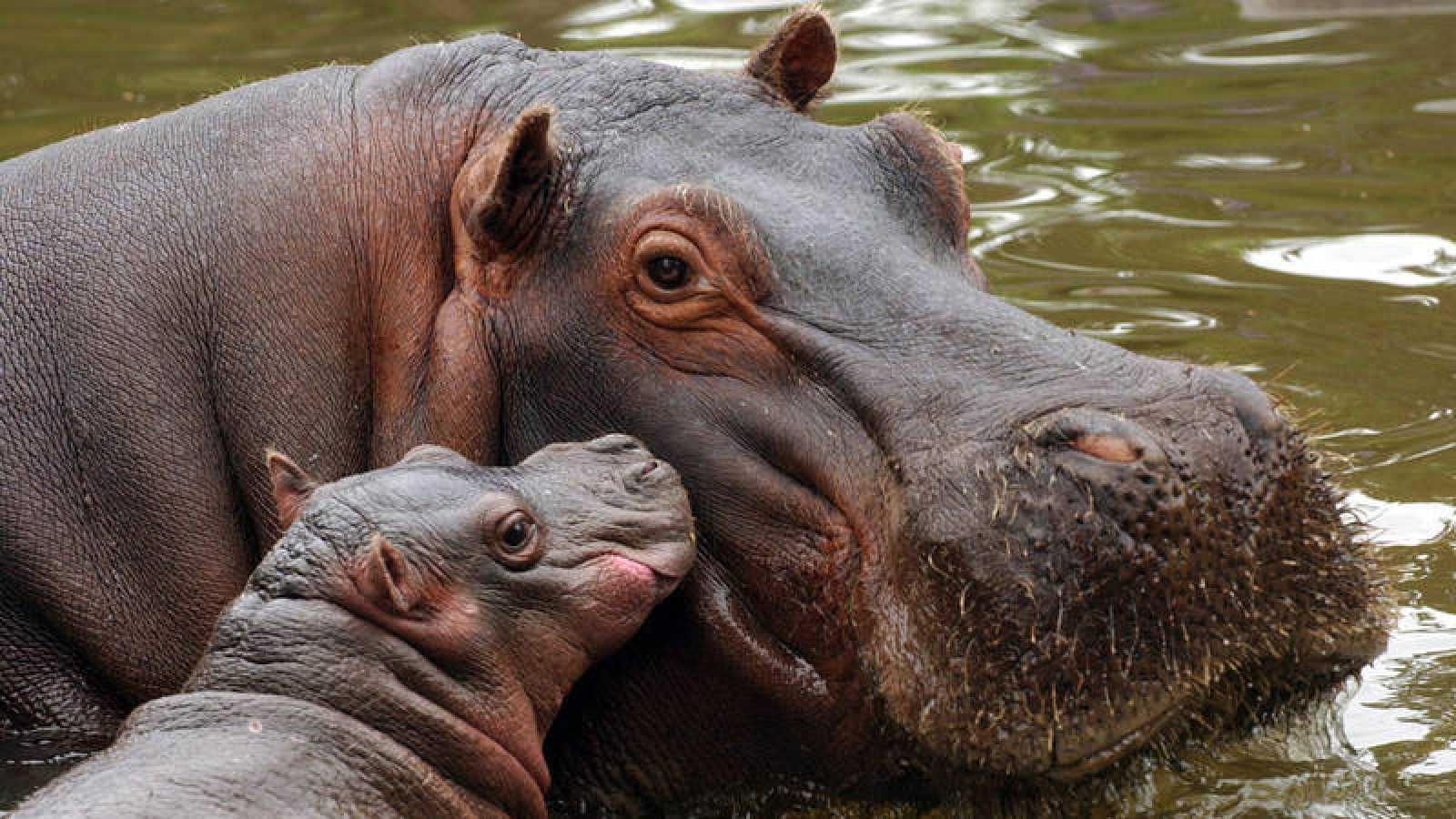 Hipopótamos en cautividad en Argentina.Leo La Valle/Efe