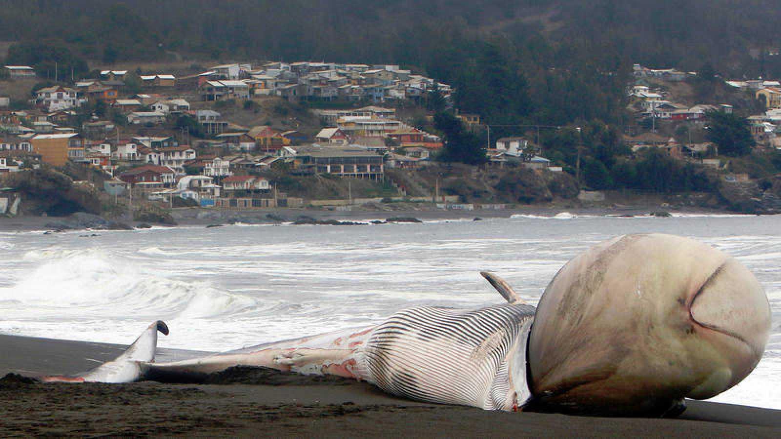Imagen de archivo de los restos de una ballena varada en las costas de Pelluhue (Chile).