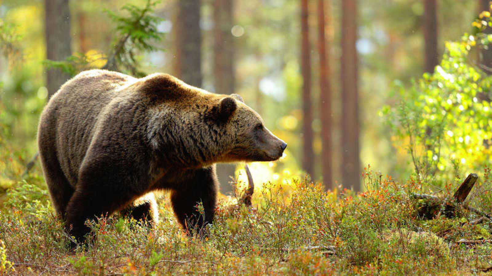 Un ejemplar de oso pardo en libertad ha cruzado la frontera hispanolusa para adentrarse en Portugal.