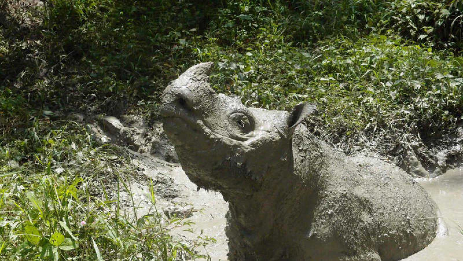 Imagen de archivo tomada en 2014 de Tam, el último rinoceronte de Sumatra macho de Malasia