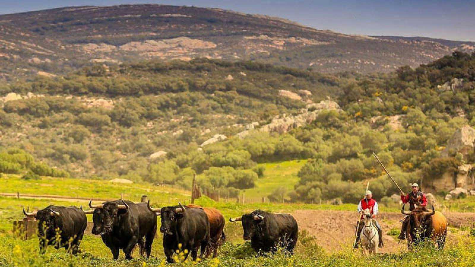 Los hermanos Juan y Javier Guillén haciendo correr a los toros de La Palmosilla en la finca de La China