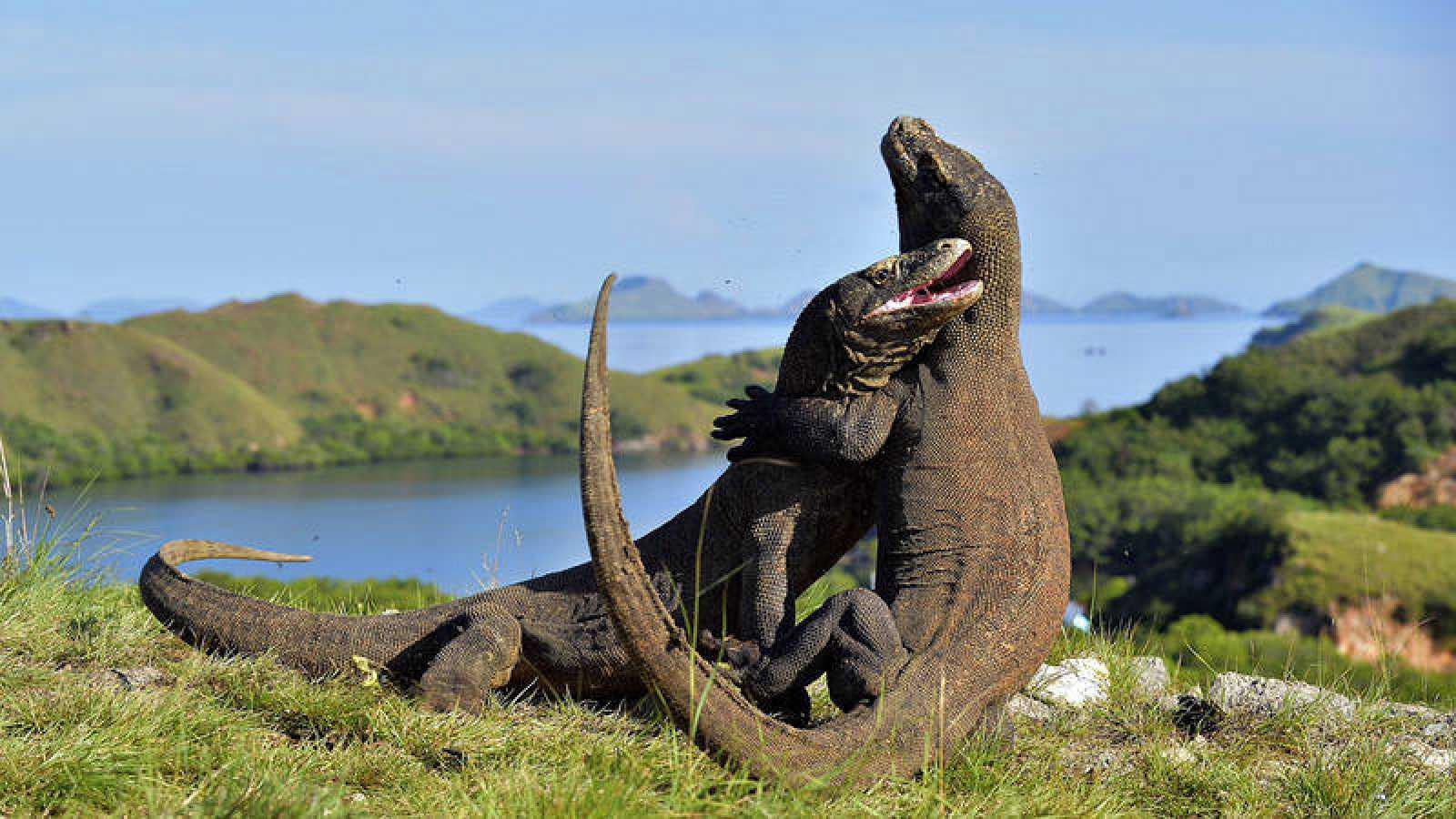 Dos dragones luchan en la isla indonesia de Komodo.