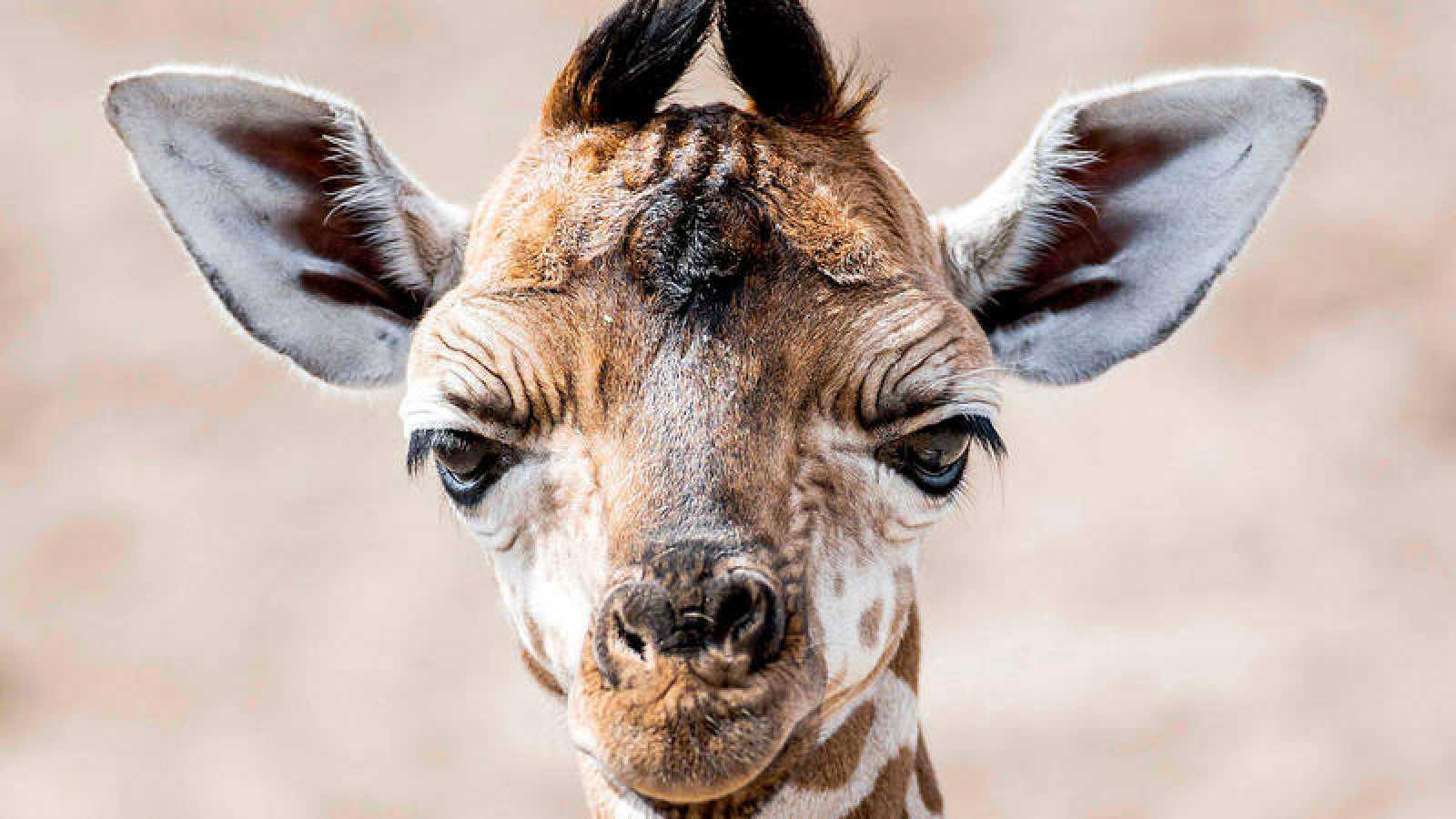 El comercio de jirafas quedará restringido por la caída de su población.