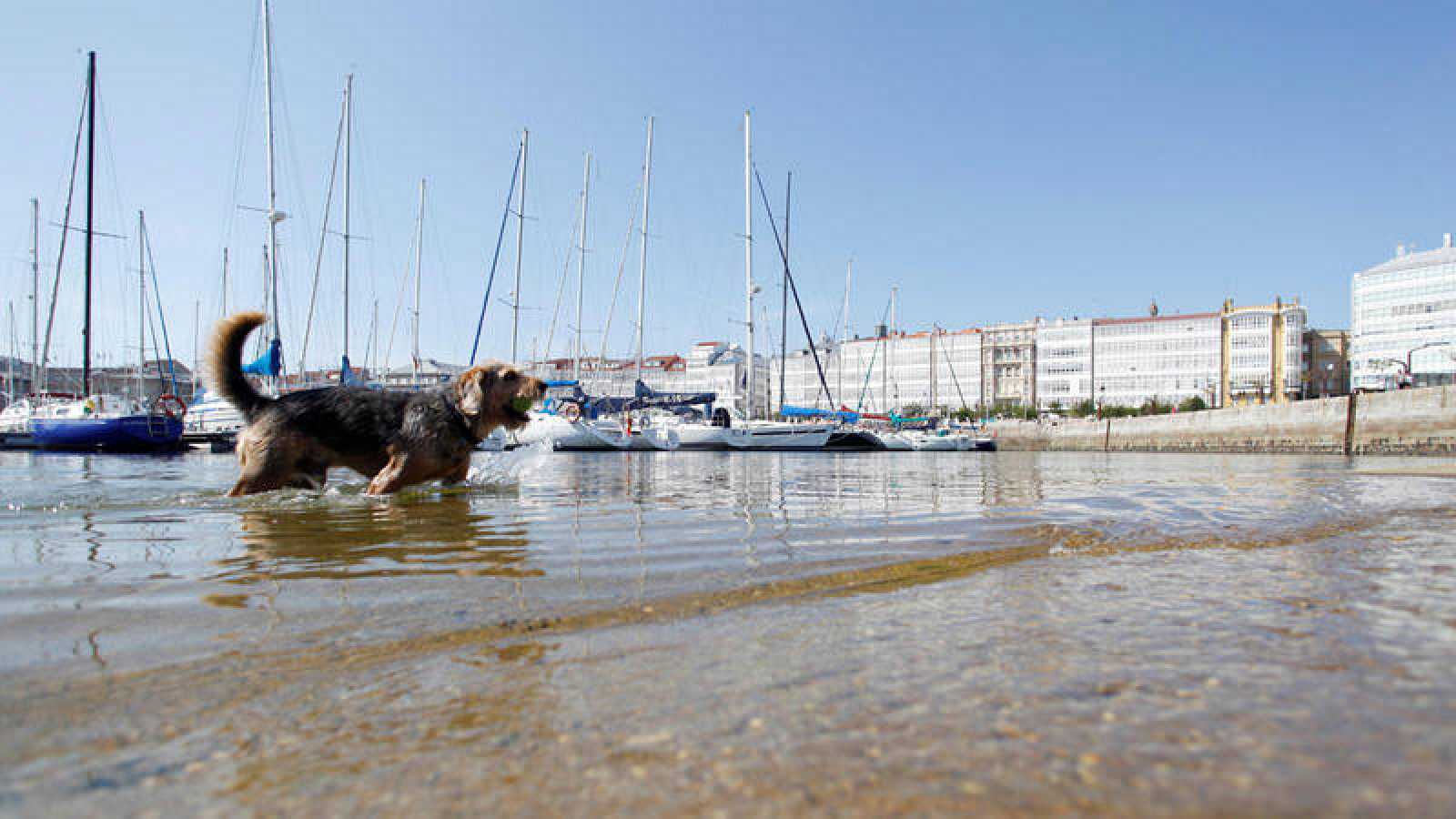 Un perro se refresca en el puerto de A Coruña
