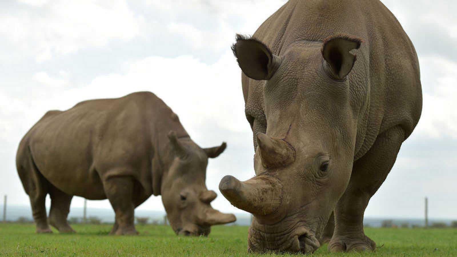 Najin (I) y Fatu, las dos únicas rinocerontes blancos del norte supervivientes.