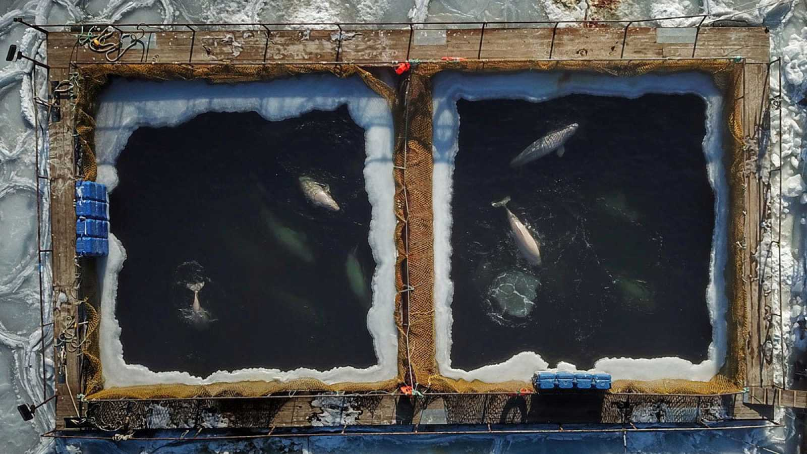 """En total llegó a haber90 belugas, 11 orcas y cinco crías de morsa en la """"prisión de ballenas"""" desde el verano de 2018."""