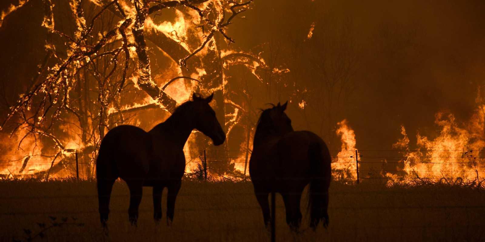 Caballos esperan muy cerca de las llamas en la montaña Grose en Bilpin en Nueva Gales del Sur (Australia)