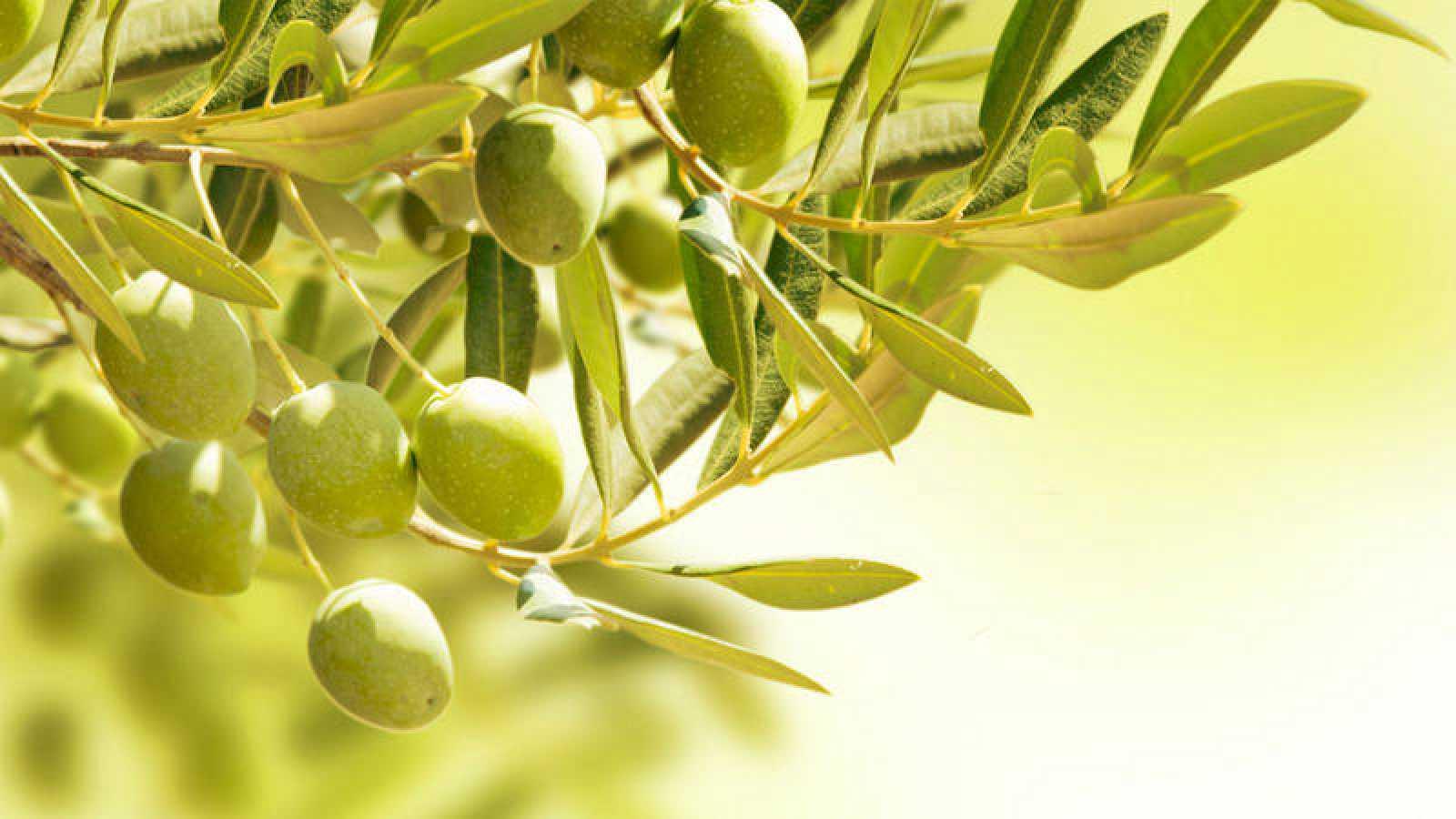 Detalle de un olivo cargado de aceitunas