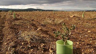Campo con plantones de encinas cultivadas