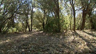 Encinar salvaje donde se recogan las trufas silvestres