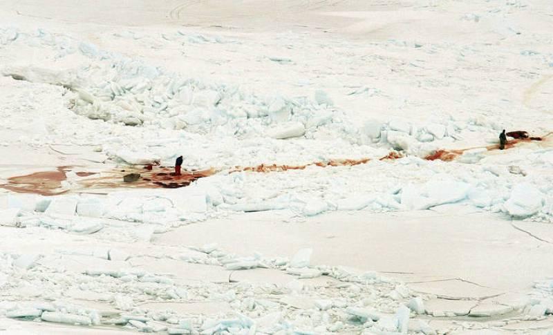 Con el comienzo de la caza, el hielo donde normalmente viven las focas se cubre de sangre.