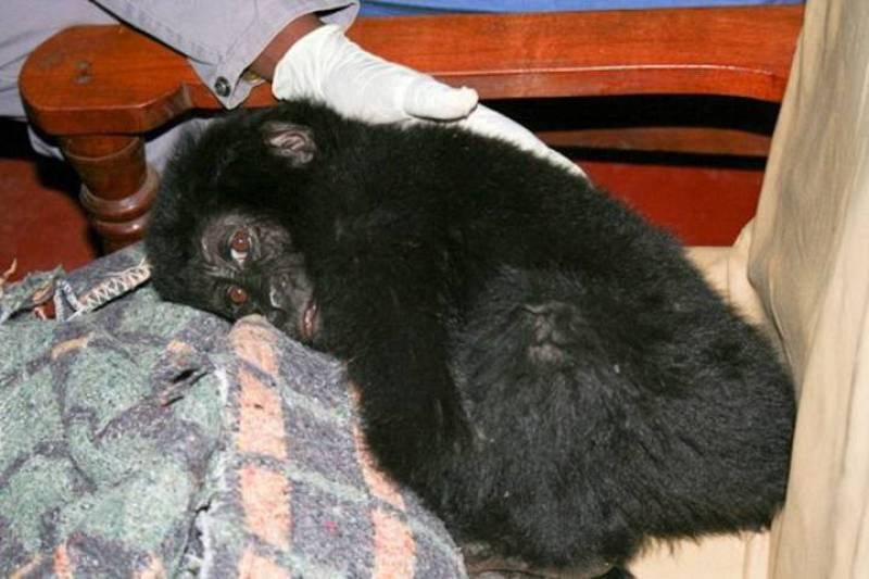 Ihirwe, el pequeño gorila de montaña rescatado de una banda de furtivos