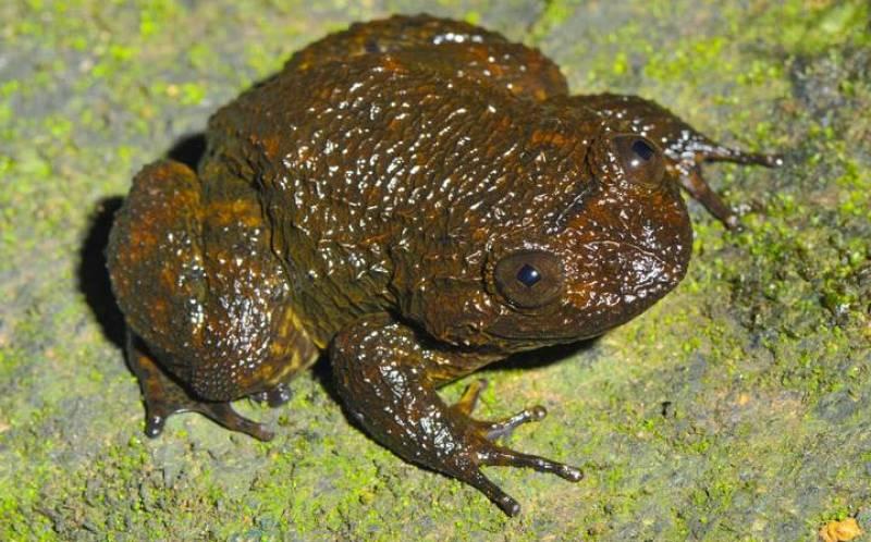Las ranas viven cerca de los rápidos de los ríos y se reproducen en las zonas boscosas y húmedas de los Gaths occidentales de la India
