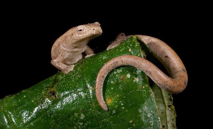Nueva especie de salamandra encontrada en Ecuador