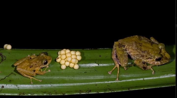 Nuevas especies de anuros descubiertas