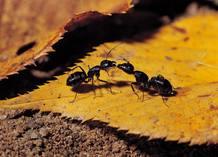 Las hormigas marcan el camino desde la comida hacia el hormiguero usando feromonas.