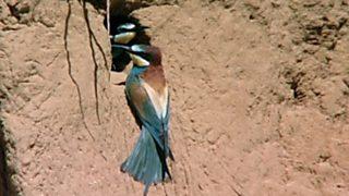 El hombre y la Tierra (Fauna ibérica) - El abejaruco, 1