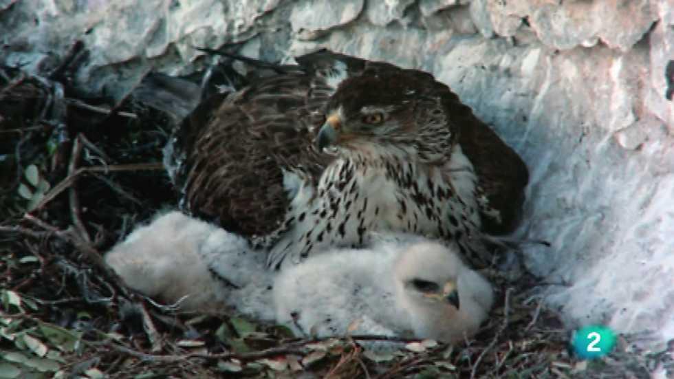 El hombre y la Tierra (Fauna ibérica) - El águila perdicera I