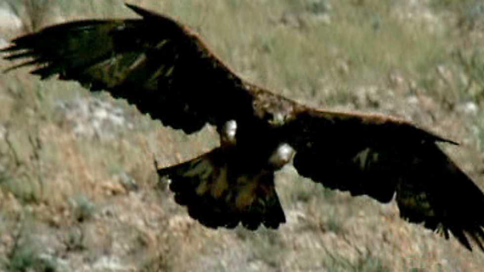El hombre y la Tierra (Fauna ibérica) - El águila real II
